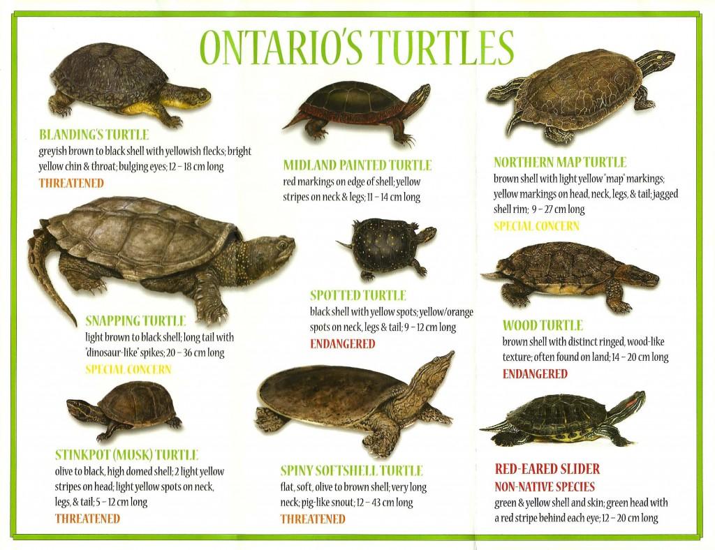 turtle-species-poster
