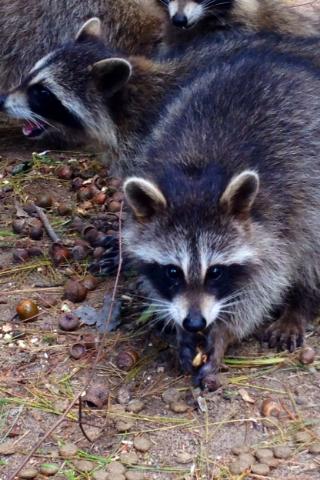 AV-raccoons-acorns
