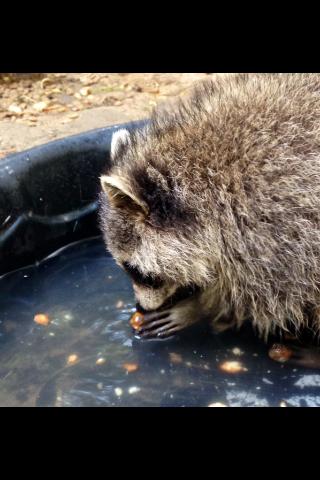 AV-raccoons-acorns2