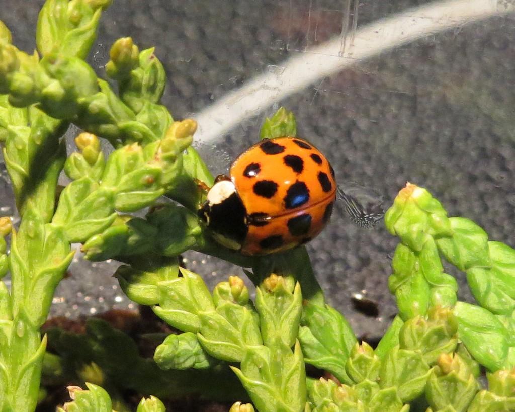 Ladybug6