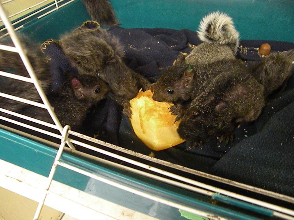 SOH-squirrels