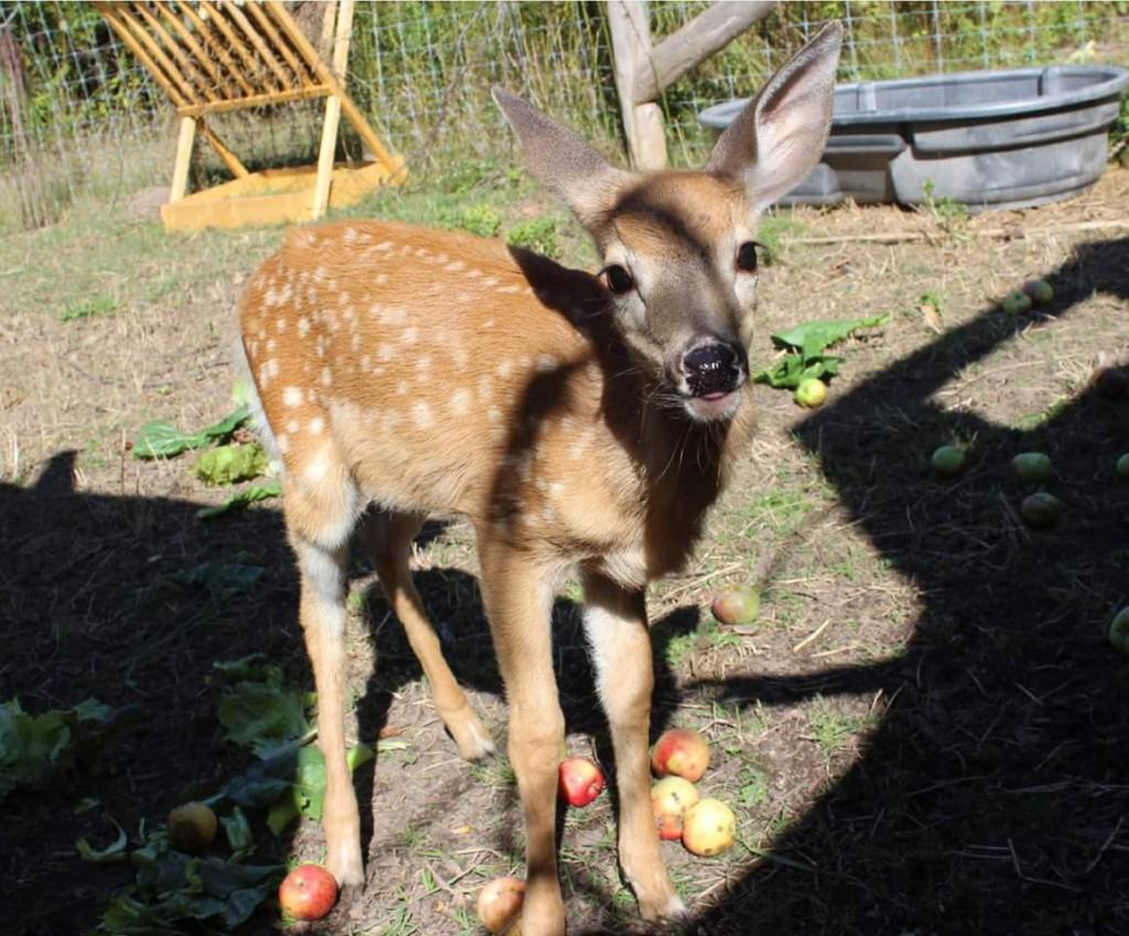 deer-procyon